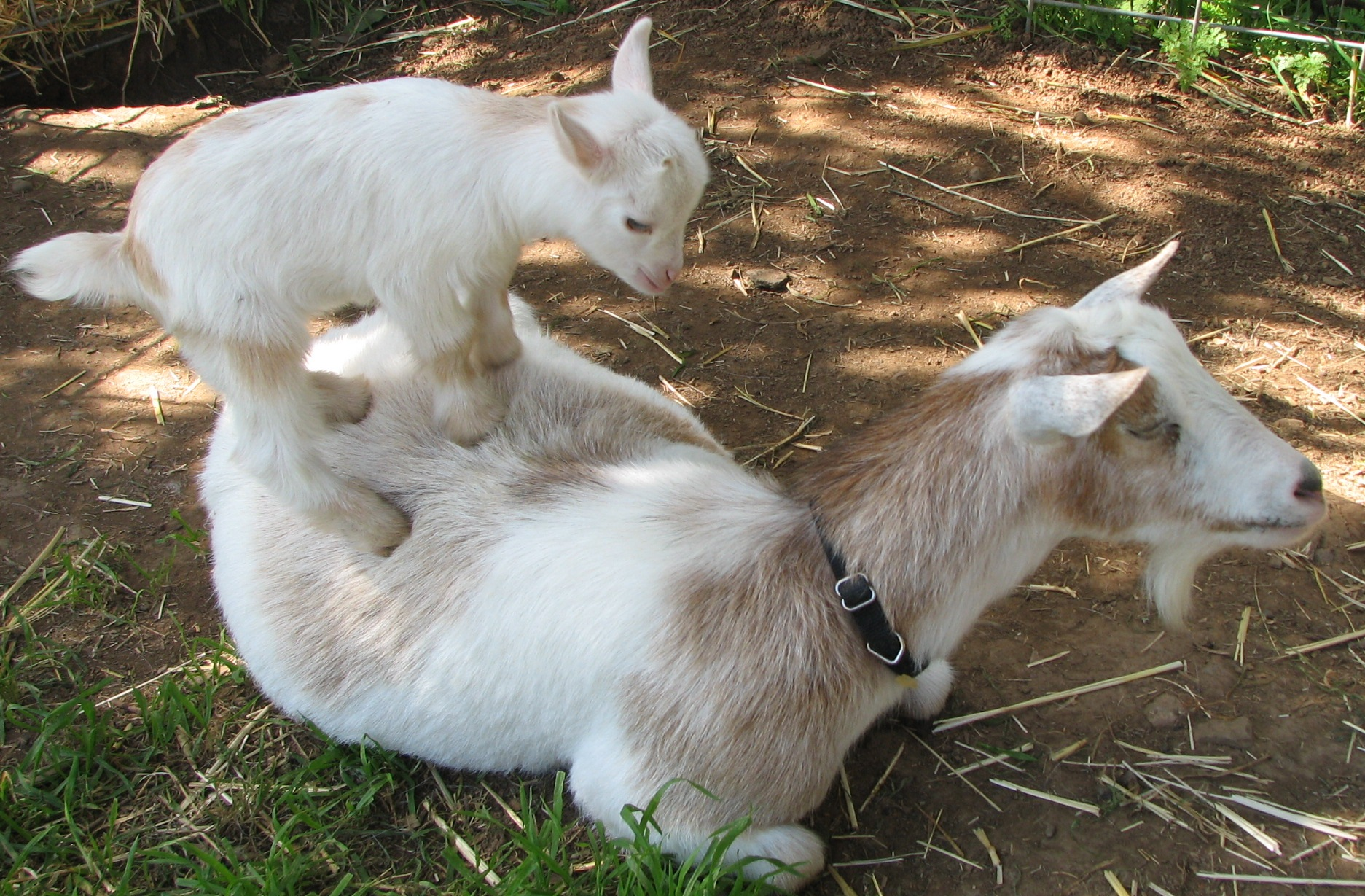 lamancha nubian goats - photo #3